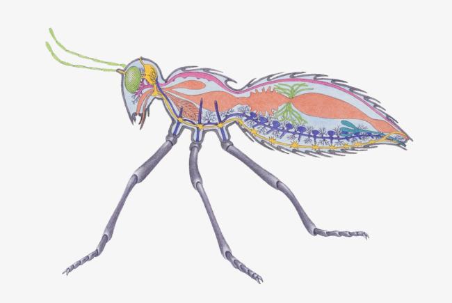 蚂蚁器官骨骼结构