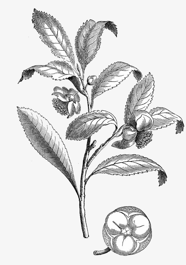 手绘茶叶枝叶