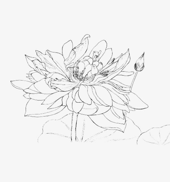 莲花手绘线稿