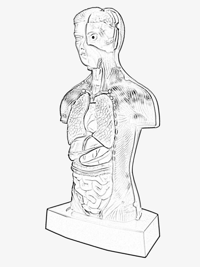 手绘人体器官
