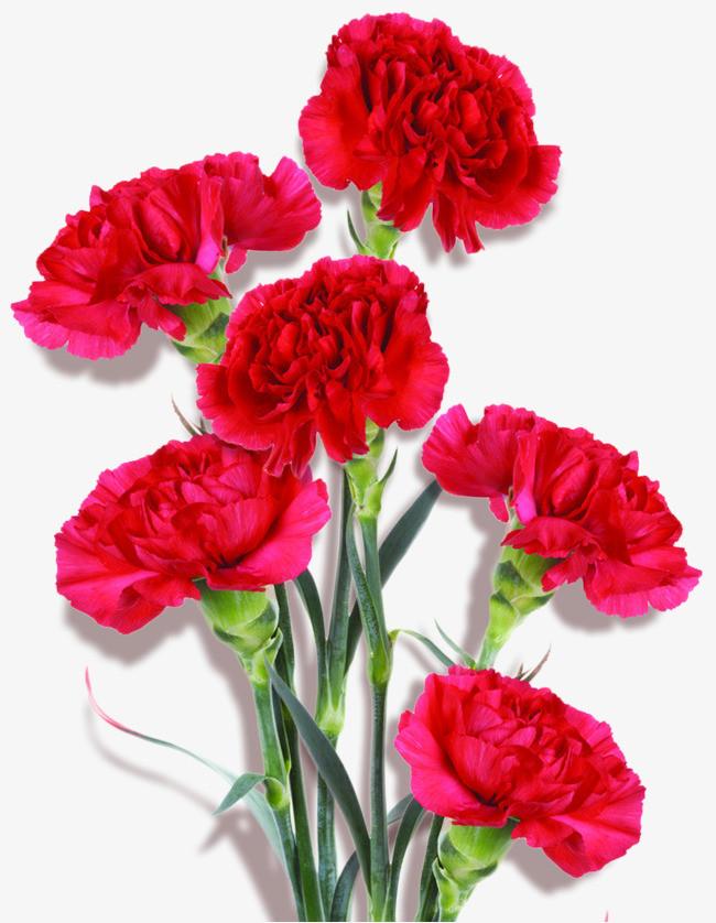 手绘装饰康乃馨鲜花素材
