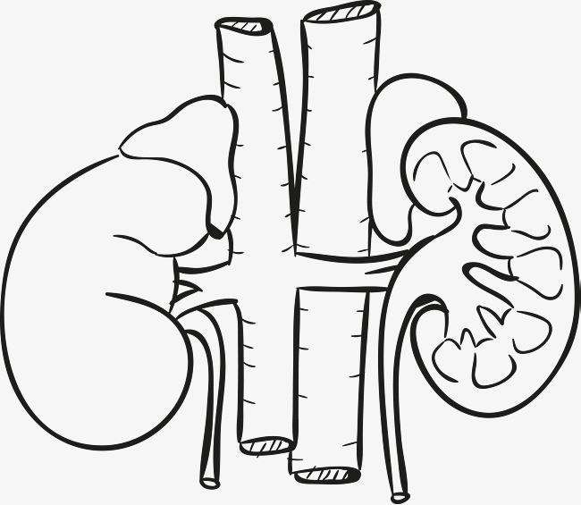 人体器官手绘图