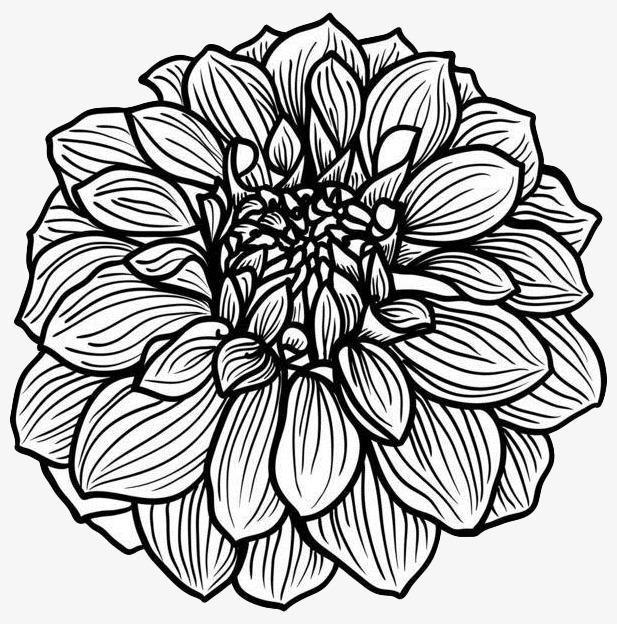 手绘线描菊花菊花线描线条黑色花卉线描花矢量图植物线条手绘-手绘图片
