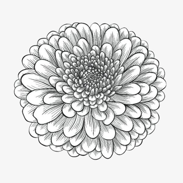 手绘线描重瓣菊花