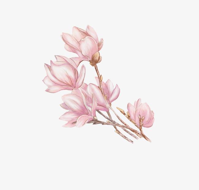 手绘粉色白玉兰枝条花朵木兰玉兰玉兰花白玉兰粉色白玉兰手绘花朵彩