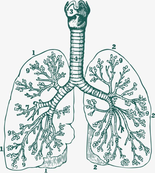 肺动脉肺泡手绘图