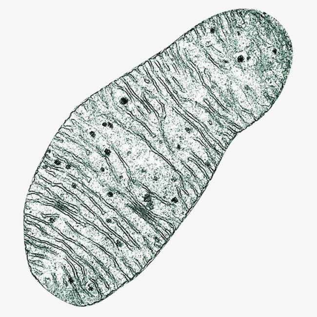 细胞线粒体显微结构图透明png