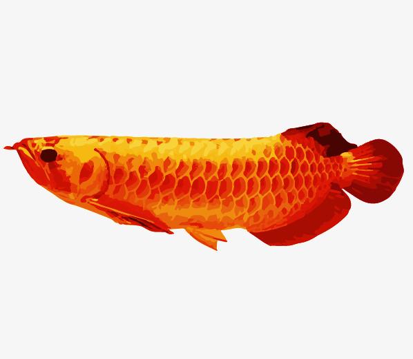 手绘风格化红龙鱼