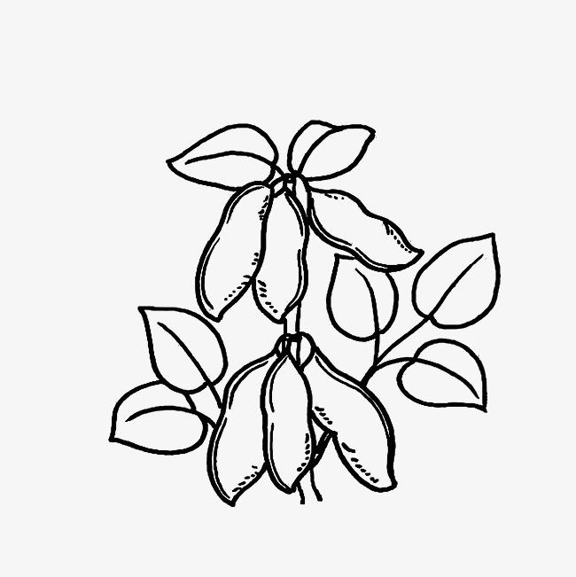 大豆未成熟时的线稿图素材图片免费下载 高清png 千库网 图片编号9417921