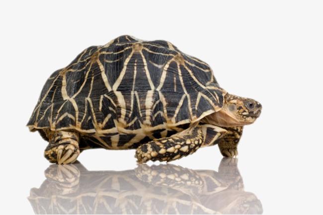 最古老的爬行动物鳄龟实物