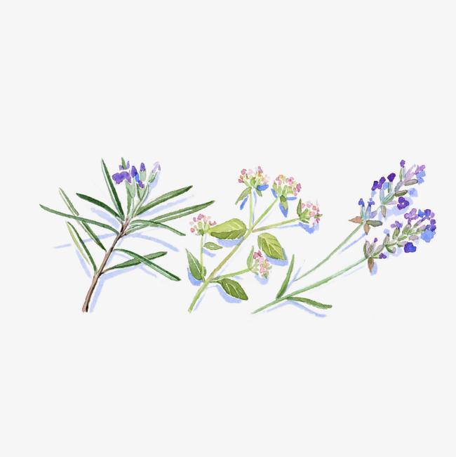 图片 其他 > 【png】 手绘水彩开花的调味品迷迭香香菜插画免抠  分类