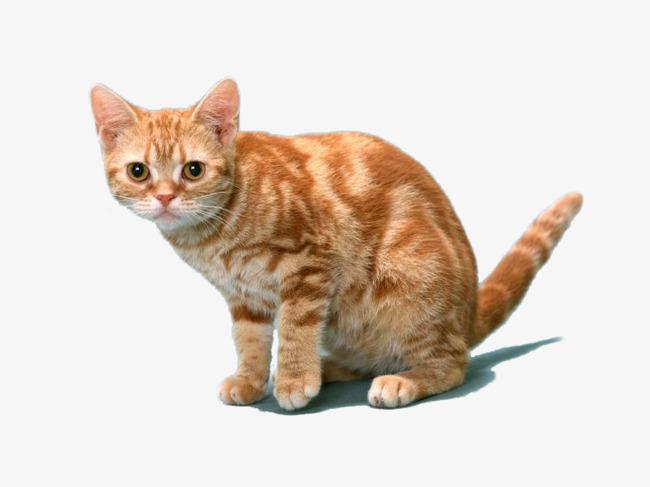 可爱的橘猫装饰png