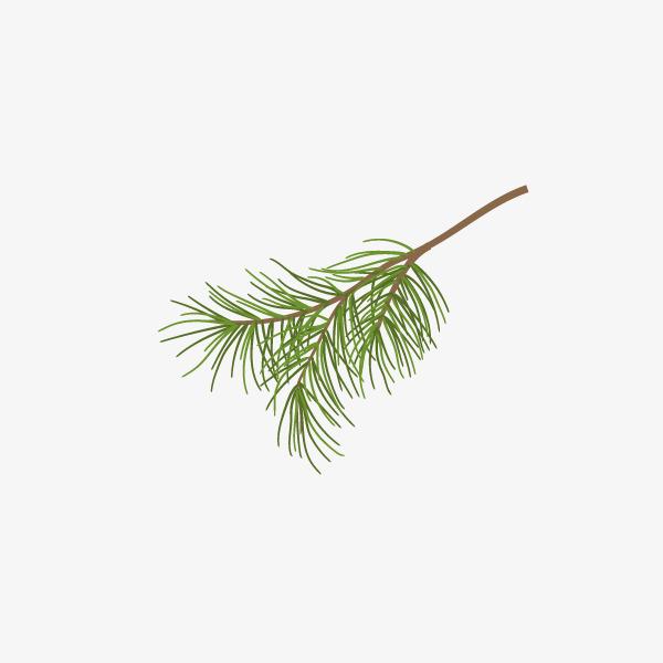 松树枝叶手绘简图