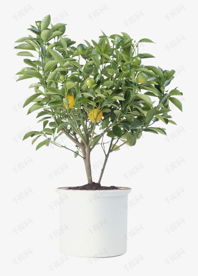 橘树盆栽图片的素材免抠树叶橘子盆栽金橘橘树-橘树盆栽图片素材图