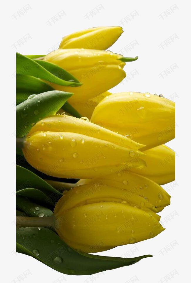 清新黄色水珠百合花朵