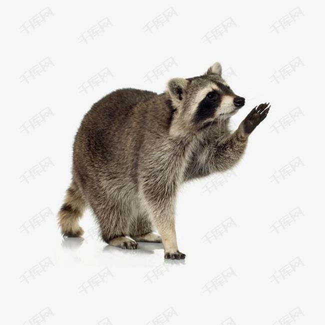 伸出手的浣熊