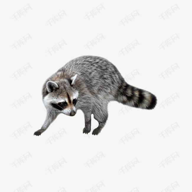 走动的浣熊