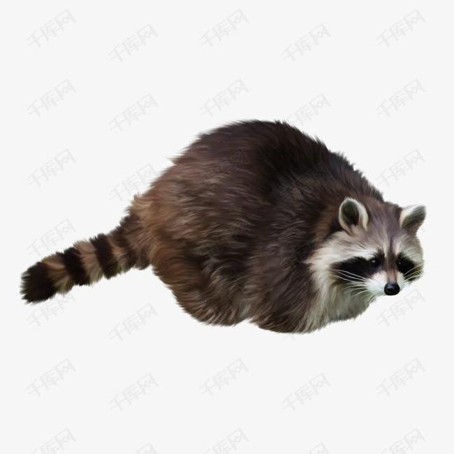 长尾巴的浣熊