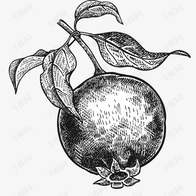手绘写实线描水果素材图片免费下载 高清png 千库网 图片编号9173845