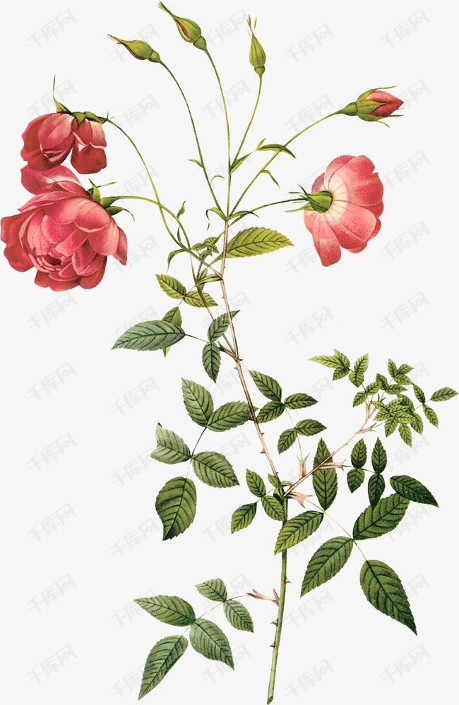 手绘玫瑰花的素材免抠红色玫瑰花花束卡通玫瑰花绿色植物玫瑰植物手绘花朵花卉鲜花红玫瑰一朵花园艺设计装饰图案春天水彩水彩花卉