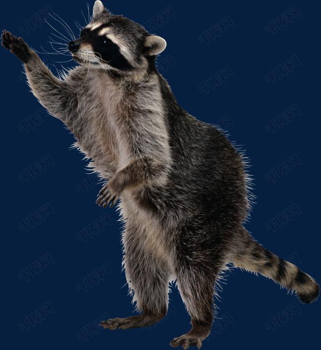站立的浣熊