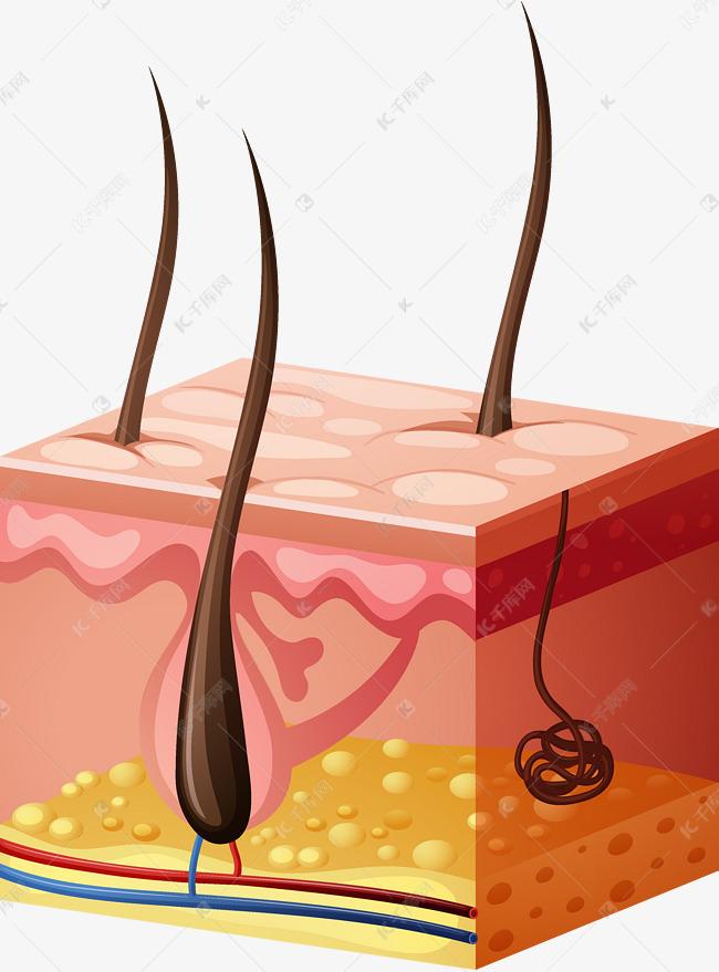 人体的皮肤组织器官