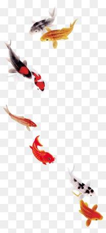 唯美精美鱼锦鲤鲤鱼金鱼