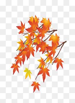 枫树叶 300*300 3 1 卡通可爱小孩枫树叶 501*654 3 2 叶子枫树叶枫叶
