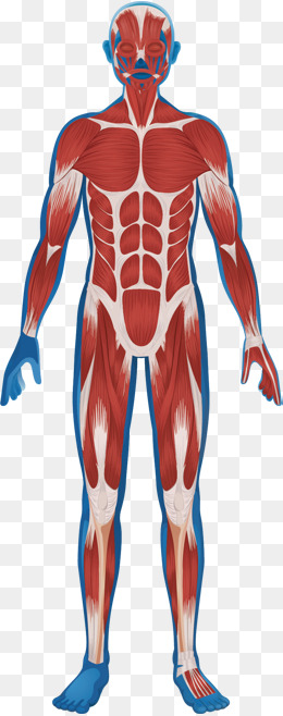 人体肌肉分布图_【人体肌肉分布素材】免费下载_人体肌肉分布图片大全_千库网png