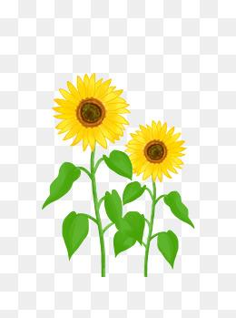 商用花卉手绘植物太阳花葵花阳光种植向日葵