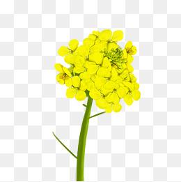 油菜花植物绿色叶子插画图片