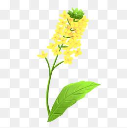 绿色叶子油菜花枝图片