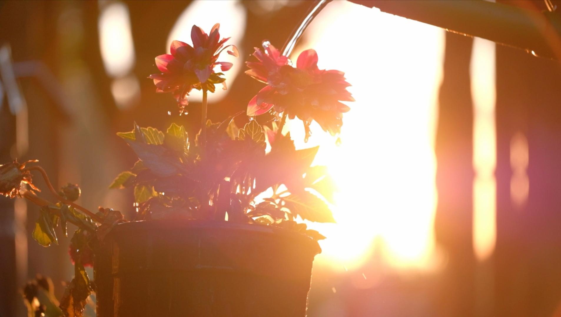 1080P唯美清晨陽光澆花高清實拍視頻