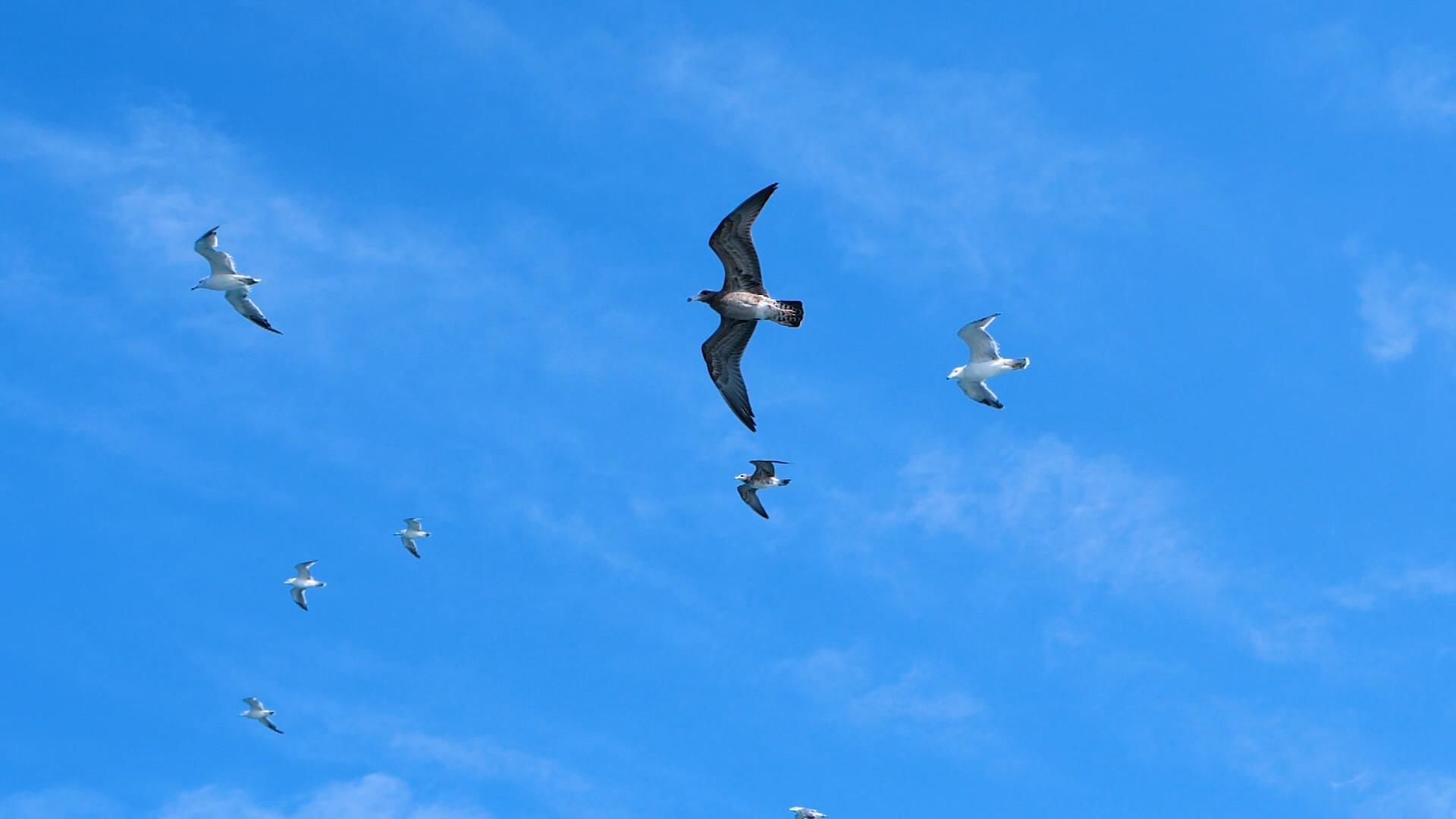 1080P升格拍攝海上海鷗