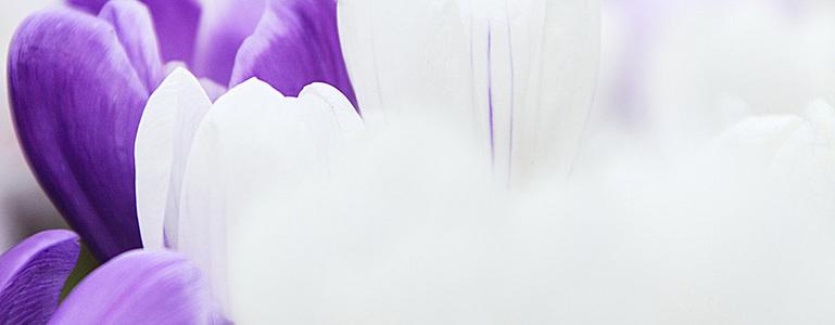唯美番红花背景图图片