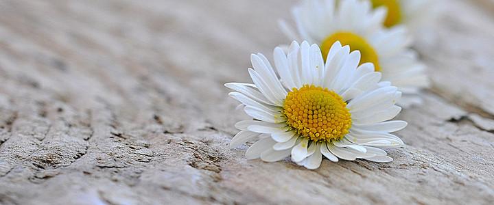 木板上美丽的雏菊图片
