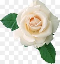 鲜艳白玫瑰