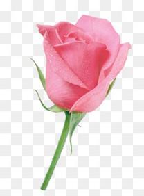 庆典花卉抽象鲜花玫瑰花玫瑰花朵