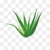 绿色清新芦荟