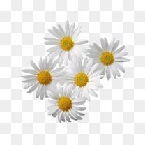 五朵白色菊花