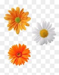 白色黄色菊花
