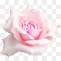 粉色玫瑰花瓣