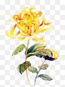 黄色手绘菊花花朵
