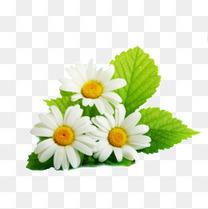 带叶子的三朵雏菊花