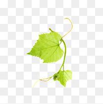 绿色葡萄叶子