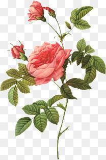 手绘玫瑰花插画 玫瑰花会