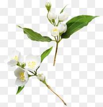 高清白色小花绿叶
