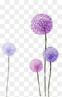 紫色的蒲公英