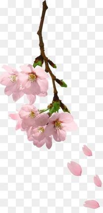 粉色桃花枝头飘落 工笔桃花