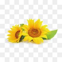 夏季向日葵